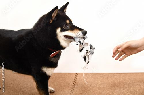 Obraz na plátne いたずらする柴犬