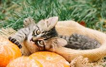 Kitten And Autumn. Kitten With Pumpkin