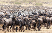 Zebra And Wildebeest Herds In The Masai Mara