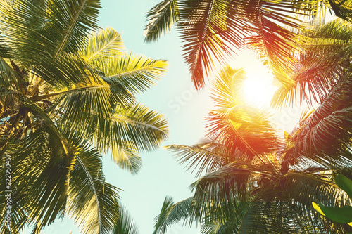 Palmier Coconut palm tree on blue sky background.