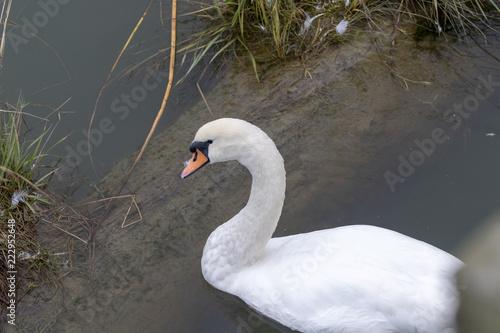 A Beautiful White Swan Swimming in Water