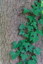 Ivy Leaves Growing Over The Ba...