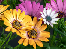 Fine Art Still Life Colorful Macro Image Of Wide Open Blooming Yellow Pink White African Cape Daisy/marguerite Blossoms In Surrealistic Vintage Painting Style