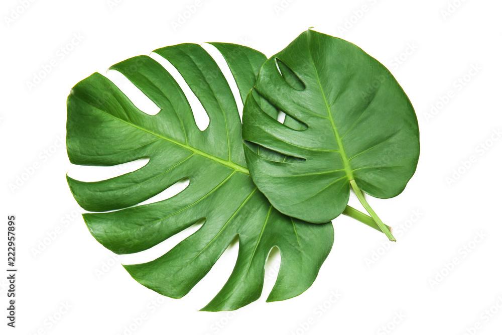 Fototapety, obrazy: Fresh tropical monstera leaves on white background