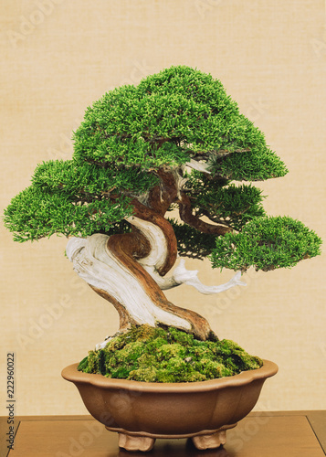 Spoed Fotobehang Bonsai elegant antique bonsai on yellow background