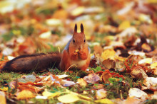 Squirrel In Autumn / Autumn Portrait Of Squirrel, Yellow Park With Fallen Leaves, Concept Autumn Nature Preparation For Winter, Redhead Little Beast In The Forest