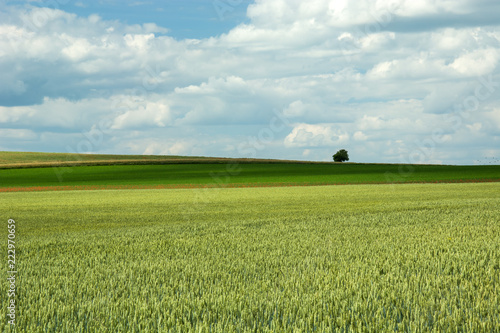 Printed kitchen splashbacks Purple Green wheat field and clouds in the sky