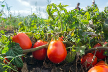 Ripe Red Tomatoes In The Field, Outdoors, During Harvesting