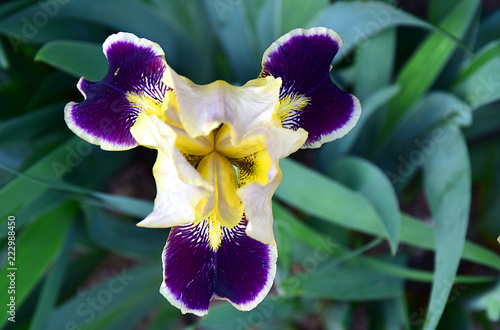 Close-up of a flower of bearded iris (Iris germanica) with rain drops . Yellow and violet iris flowers are growing in a garden.