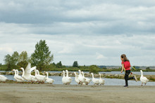 A Girl Grazing Geese In The Summer In The Village
