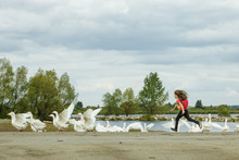A Girl Grazing Geese In The Su...