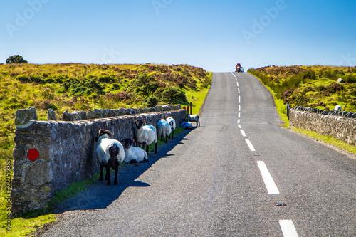 Photo Scottish blackface sheep in Dartmoor seeking shadow during a summer heat wave