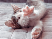 Cute Kitten Stretching On Sofa At Home, Top View