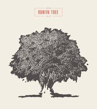 High Detail Vintage Rowan Tree, Hand Drawn, Vector