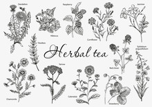 Wild Flowers. Herbal Tea. Vect...