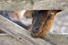 Goat Sneaking Through The Fence