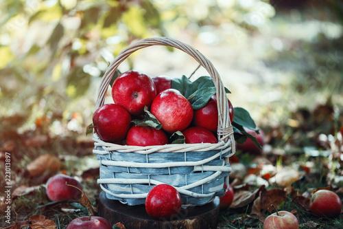 Apples in a basket. Apple harvest. Apple background