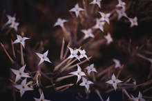 Star Flowers On A Plant In Winter