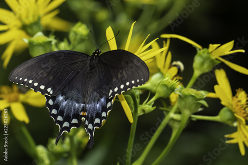 Spicebush swallowtail butterfly drinking from a wildflower - Papilio troilus