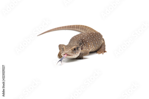 Savannah monitor lizard  isolated on white background Canvas Print