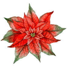 Poinsettia Isolated On White B...