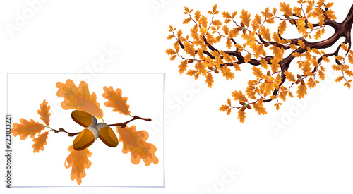Fototapeta Yellow autumn branch of a large oak with acorns and a separate branch close-up