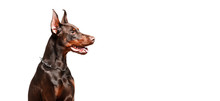 Doberman Dog Sits On Red Pillow Against White Isolated Background.