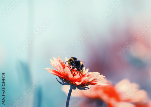 shaggy bumblebee sitting on a flower collecting sweet nectar in the summer and colourful garden