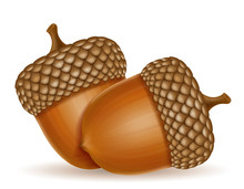 Autumn Oak Acorns Vector Illus...
