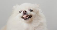 White Pomeranian Dog Bark