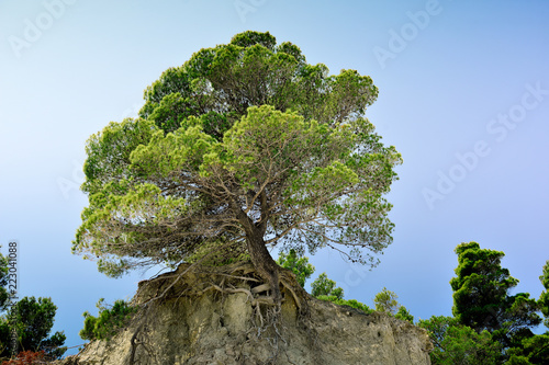 maritime pine tree perched on a promontory