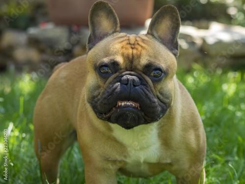 Foto op Canvas Franse bulldog Bouledogue français de couleur fauve. Un petit molosse très amical et joueur