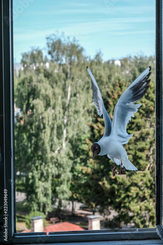 Fotobehang Olijf seagull eating bread from city apartment window