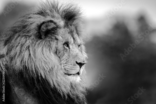 Fototapety, obrazy: Close up of a lion looking off to the side