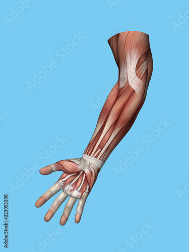 Anatomy front view of hand and arm muscles of a man