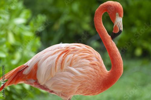 Foto op Aluminium Flamingo Flamingo Flamenco en el agua sobre fondo verde