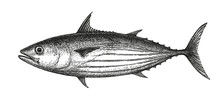Ink Sketch Of Skipjack Tuna.