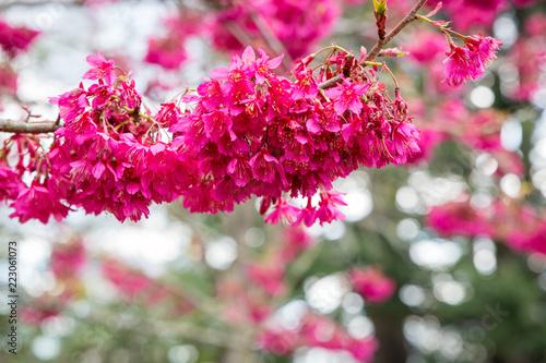 Staande foto Roze Beautiful cerise springtime blossoms signal springtime in New Zealand parks and roadsides