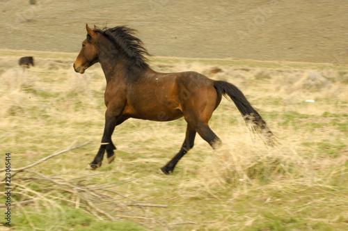 Foto  Wild Mustang Running