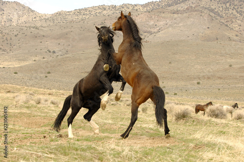 Photo  Wild Mustang Stallions Confrontation