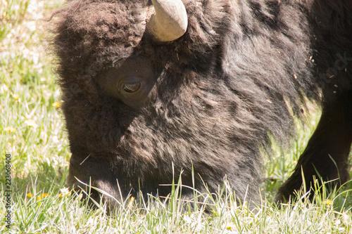 Foto op Canvas Bison Buffalo 2