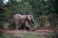Elephant On Safari In Tanzania