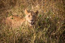 Animal - African Lion In Tanzania