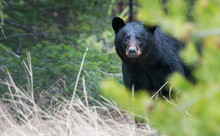 Wild Black Bear In The Rocky Mountains