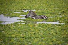 Zebra On Safari In Tanzania