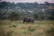 Elephant On . Safari In Tanzania