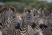 Pack Of Zebras On Safari In Tanzania