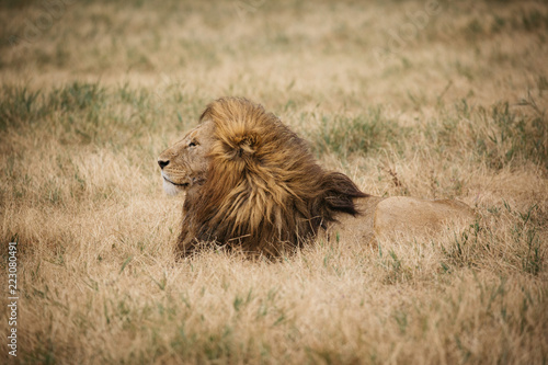 Lion On Safari in Tanzania