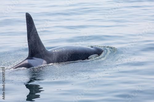 Fotografie, Obraz  Killer whale from Pacific Northwest J pod - J35 in open ocean