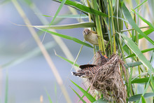 DaWeiYing Feed The Cuckoo
